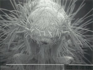 衣類害虫の一種であるヒメカツオブシムシの頭部